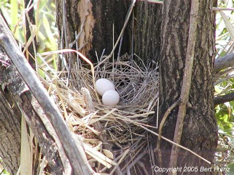 mourning dove nest and eggs