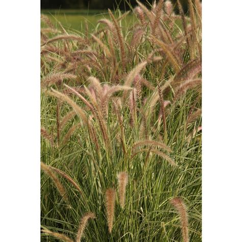 where to buy purple grass proven winners graceful grasses sky rocket purple fountain grass pennisetum live plant green