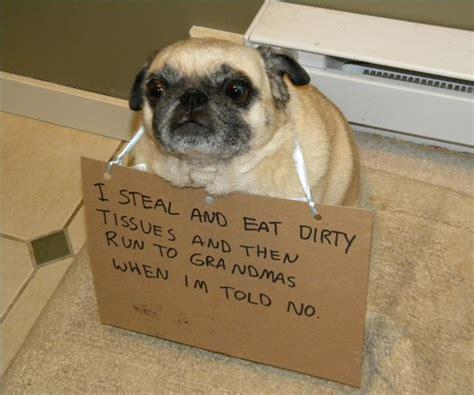 guilty pugs  shamed   pug crimes