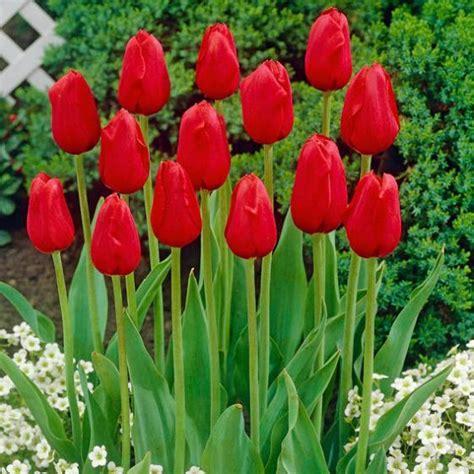 Garten Tulpen Pflanzen by Tulpe K 246 Nigsblut Kaufen Bei G 228 Rtner P 246 Tschke