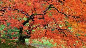 Image Gallery japanese maple wallpaper