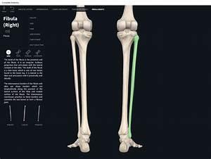 Bones  Fibula   U2013 Anatomy  U0026 Physiology
