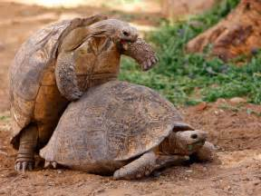 tortoise design tortoises 39 reproductive behaviour makes them the rabbits of the reptile world the independent