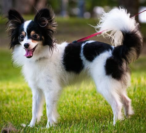 papillon butterfly dog breed information  images krl