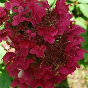 Hortensie Wims Red : buy hydrangea hydrangea paniculata wim 39 s red pbr ~ Michelbontemps.com Haus und Dekorationen