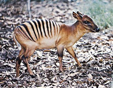 The zebra duiker is a small antelope found in the Ivory