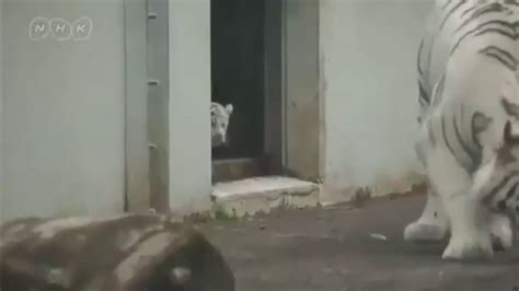 white tiger kitten scares  mom youtube