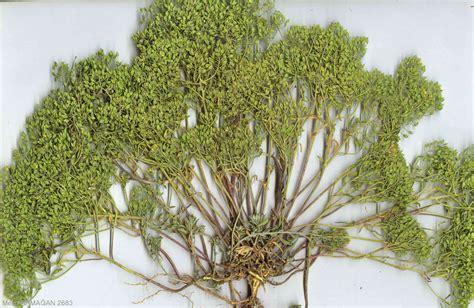 Brassicaceae / Alyssum pateri NYAR. subsp. pateri NYAR.jpg