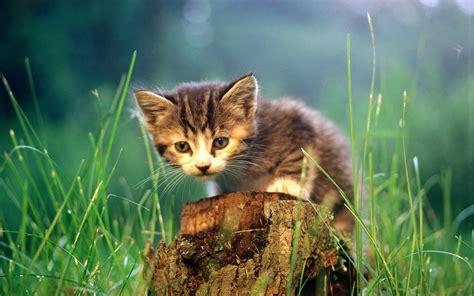 Most Beautiful Cats Wallpapers Hd Photos Images Download