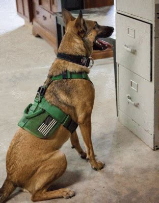 drug dogs narcotics detection dogs police dogs pacesetter