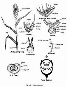 Families Of Monocotyledons  With Diagram