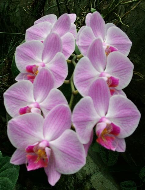 phalaenopsis orchid bali orchid garden tour