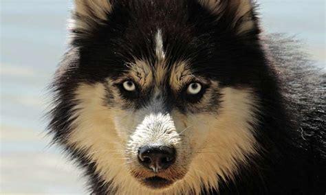 link  hypoallergenic dogs   risk