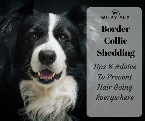 Do Collies Shed A Lot by Border Collie Shedding Scottish Sheep Grooming Guide