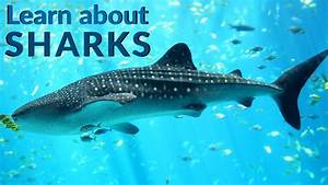 Learn About Sharks Sharks Sharks Facts Lesson For Kids