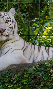 White Tiger Wallpapers, Pictures, Images