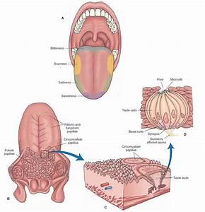 Olfaction And Taste (sensory System) Part 1