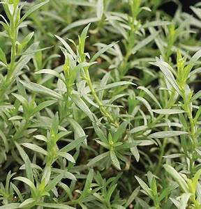 1000+ images about Herbs for Container Growing on ...