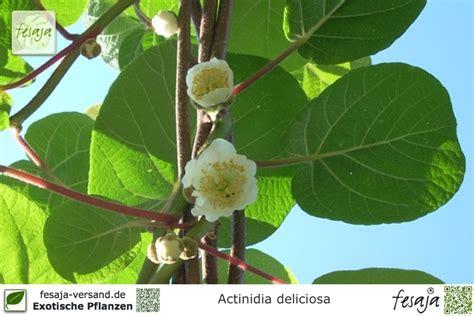 Kiwi Jenny, Actinidia Deliciosa, Pflanze Fesajaversand