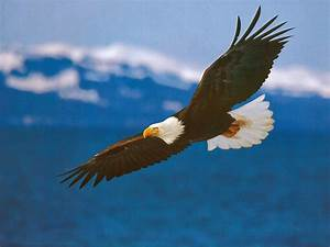 Lovable Images: Cute Eagle HD Birds Images Free Download ...