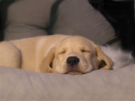 puppys dream guide dog puppy opas eevi   puppy