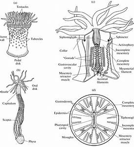 External View And Structure Of Sea Anemones   A