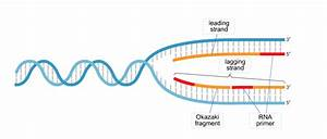 The Diagram Depicts Dna That Is Undergoing