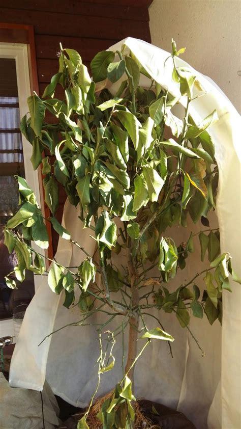 hilfe fuer meinen zitronenbaum gesucht