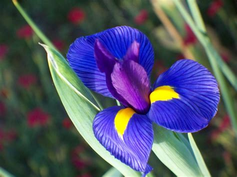 fiore iris foto flower homes iris flowers