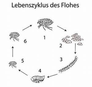 Katzenfloh Auf Mensch : fl he allgemein ~ Watch28wear.com Haus und Dekorationen