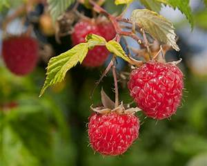 The Best Varieties Of Raspberries To Grow And How To Care