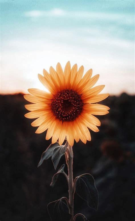 aesthetic sunflower wallpapers