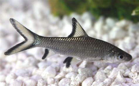 requin argent 233 balantiocheilus melanopterus