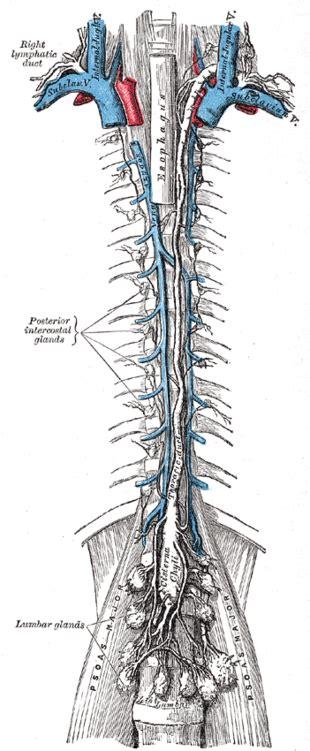 vasi linfatici sistema circolatorio linfatico