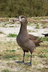 Black-footed albatross - Wikipedia  Black