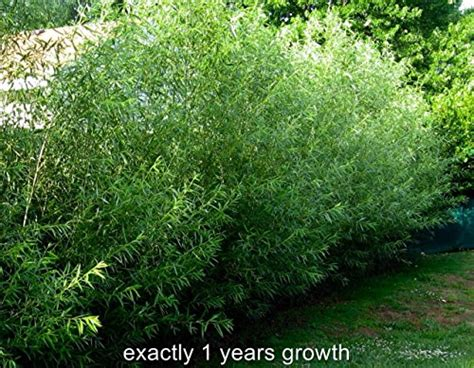 15 austree hybrid willow trees fastest growing tree over