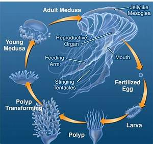 The life cycle of a jellyfish. After an egg and sperm fuse ...