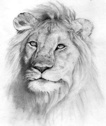 lion pencil drawing pencil drawing unfinished