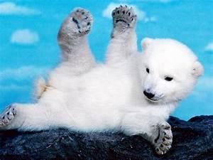Baby Polar Bear Wallpaper - WallpaperSafari