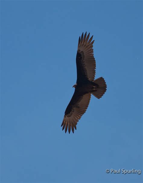 Turkey Vulture Images Turkey Vulture Cathartes Aura In Explore Raptors Facts