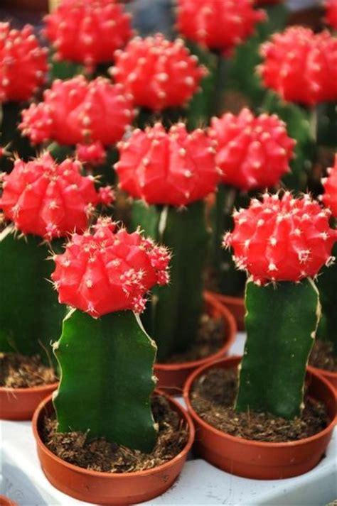 kaktus mit blüten kaktus rot gepropft der palmenmann auf blumen de kaufen