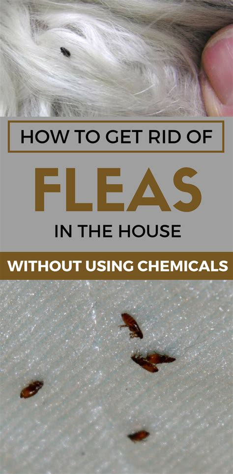 how to rid fleas in house how to get rid of fleas in the house without using