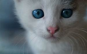 white-cat-blue-eyes.jpg 1,920×1,200 pixels | Cute animals ...