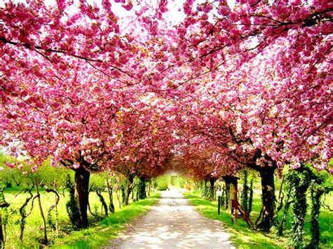 cherry blossom tree l cherry blossoms in tokyo 7 incredible must see places in