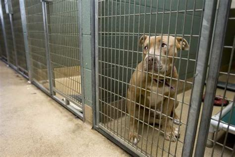 pit bull waits  adoption   alameda county animal