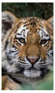 Siberian Tiger Cub at Zoo Leipzig   Sandra Wildeman   Flickr
