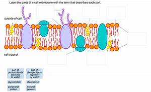 Diagram The Plasma Membrane And Label Each Component