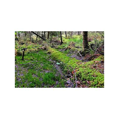 Panoramio - Photo of Conifer Swamp Floor Headwaters