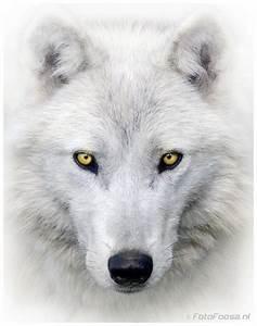 Bébé Loup Blanc : le loup blanc ~ Farleysfitness.com Idées de Décoration