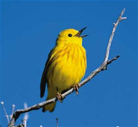 bird identification guide yellow warbler